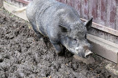 В Приамурье введен режимЧС из-за чумы свиней