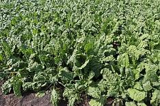 Кубань оплатит 70% затрат на отечественные семена сахарной свеклы