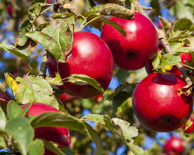 «Сады Белогорья» начали сбор яблок