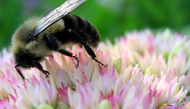 Цветочные пастбища могут помочь спасти пчел