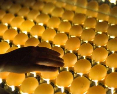 Птицефабрика «Пышминская» увеличила производство яиц