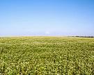 «АгроТерра» начала выращивать гречиху и подсолнечник