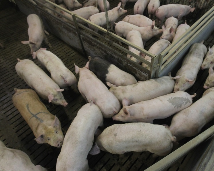 У «Русагро» обнаружена чума свиней