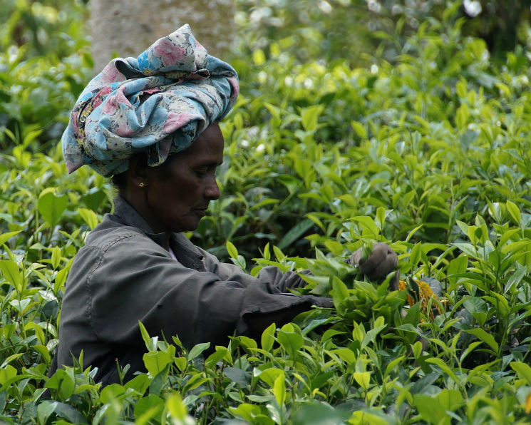Россельхознадзор запретил ввоз чая изШри-Ланки