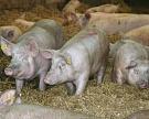 Производство свиней за полгода почти достигло 2 млн тонн