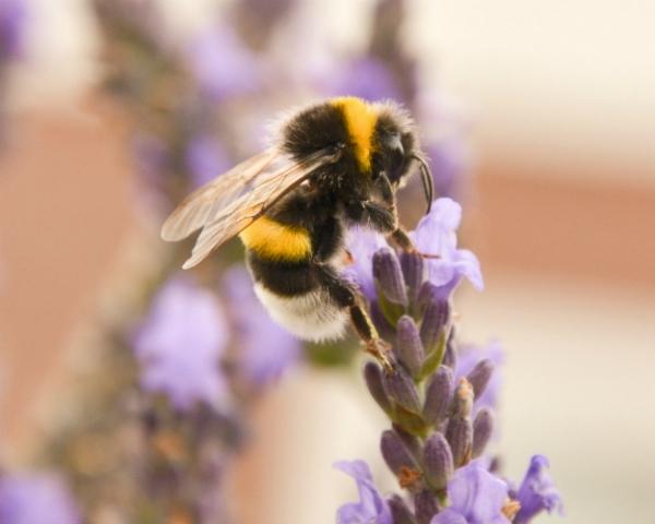 Пестициды препятствуют развитию колоний шмелей