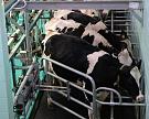 Впервом квартале производство молока увеличилось на1,5%