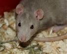 «Содружество» испытывает ГМО-шрот на крысах