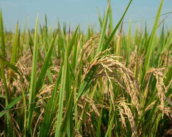 Дефицита риса небудет, хотя сырец отечественного производства может закончиться нарынке раньше обычного