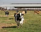 Подмосковье поможет ввосстановлении молочных ферм
