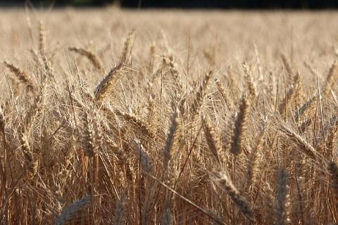 Экспортные цены на пшеницу поднялись до максимума с начала сезона