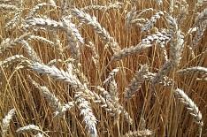 Урожай пшеницы снизился на 16%