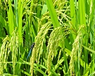 Рис начал дорожать