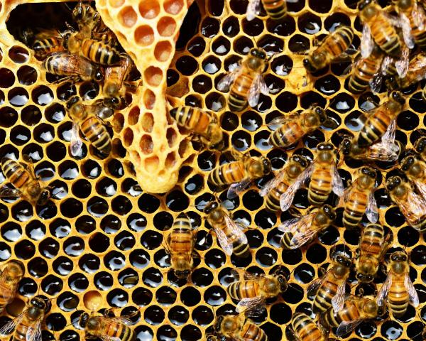 Ученые доказали, что пестициды убивают пчел