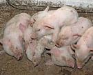 Россельхознадзор ограничил поставку свинины из Луганской области Украины
