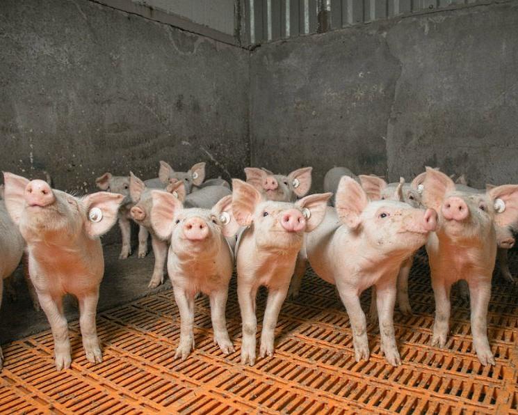 «Агроэко» намерена довести объем инвестиций в свой свиноводческий проект в Воронежской области до 62млрдруб. к 2022 году.
