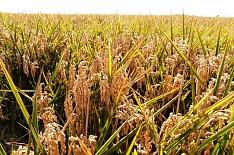 «АФГ Националь» получил рекордный урожай риса