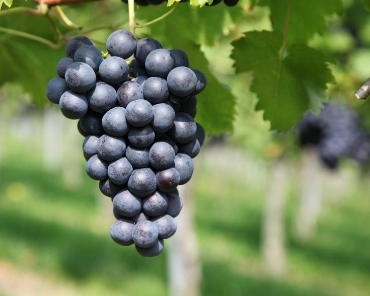 Власти Кубани опасаются перепроизводства винограда