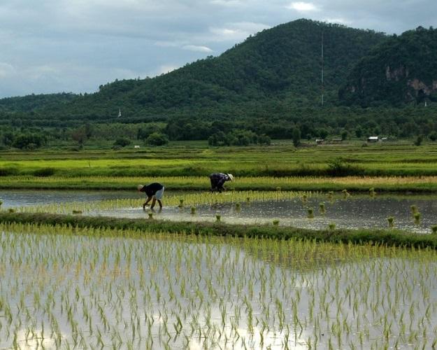 Бойтесь китайцев, рис приносящих