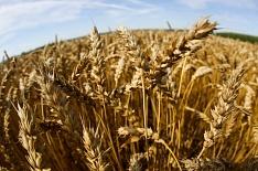 Минсельхоз США значительно понизил прогноз сбора зерна в России