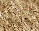 Цены на экспортную пшеницу выросли за неделю на $5