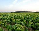 Посевы сахарной свеклы в этом году выросли на 6%