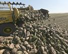 Погодные условия могли снизить сахаристость сахарной свеклы на Кубани