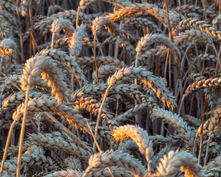 Сэкономить на пшенице. Аграрии ищут пути снижения производственных затрат