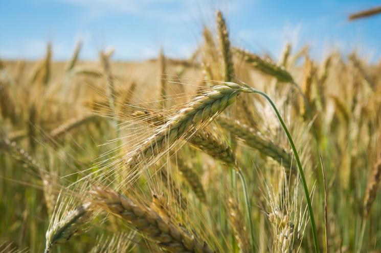Всезоне-2017/18 Россия станет уверенным лидером мирового экспорта пшеницы