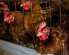 В Воронежской области строится птицефабрика на 1,5 млн несушек