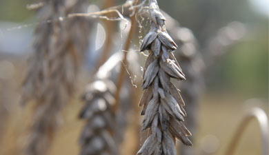Засуха привела кгибели агрокультур на1,5 млн га