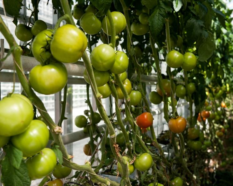 «Эко-культура» и «Гавриш» будут производить семена овощей