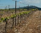 Винный холдинг «Ариант» создаст питомник саженцев винограда