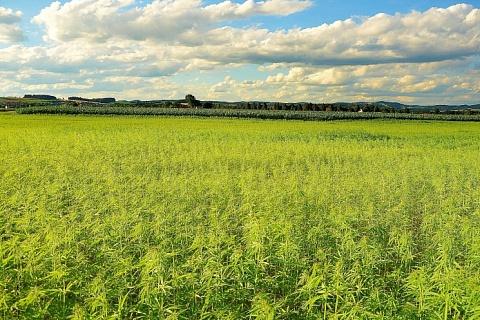 От тресты до семечки. Плюсы и проблемы выращивания и переработки технической конопли в России