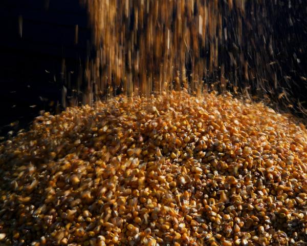 По кукурузе ожидается рекорд
