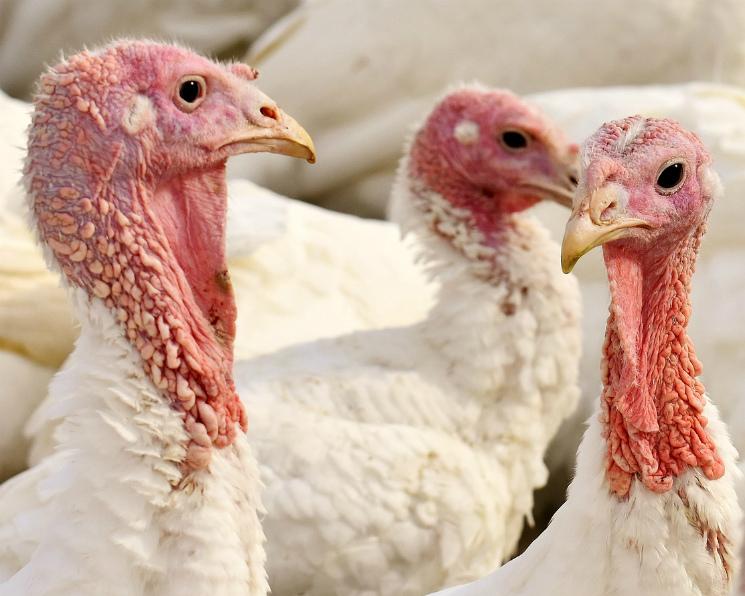 Грипп птиц втретий раз может быть выявлен у«Евродона»