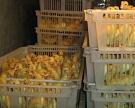 «Чикен Дак» продолжает разводить уток пекинской породы