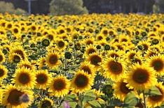 Урожай подсолнечника будет близким к рекордному