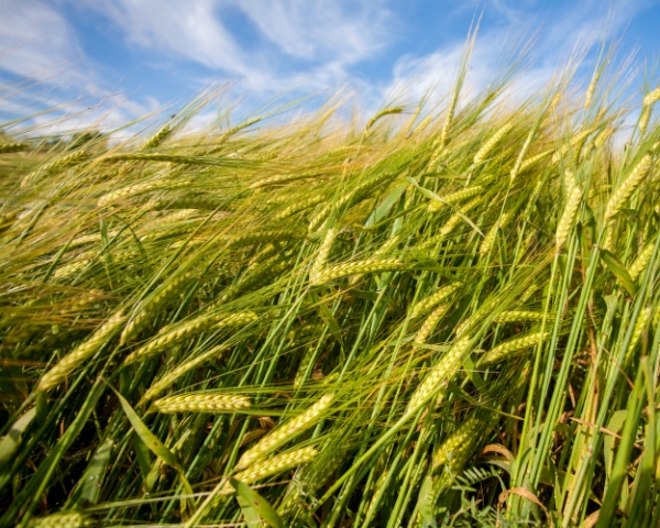 Пшеничные катаклизмы: основные проблемы при выращивании зерновых