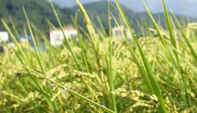 Рисовый вектор