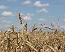Урожай зерна может превысить 130 млн тонн