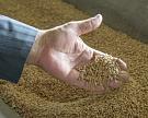 Сбор урожая пшеницы пока втрое опережает результат прошлого года