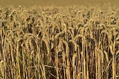 Кубань побила рекорд по урожаю зерновых