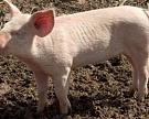 С23августа снижаются пошлины наввоз свинины иживых свиней