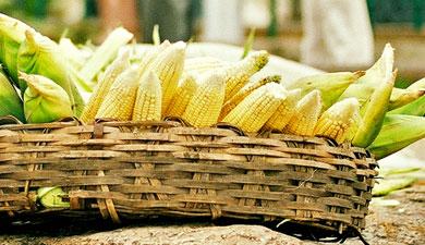 Кукуруза вместо пшеницы