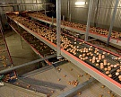 ВБелГУ учат производить яйца соранжевым желтком