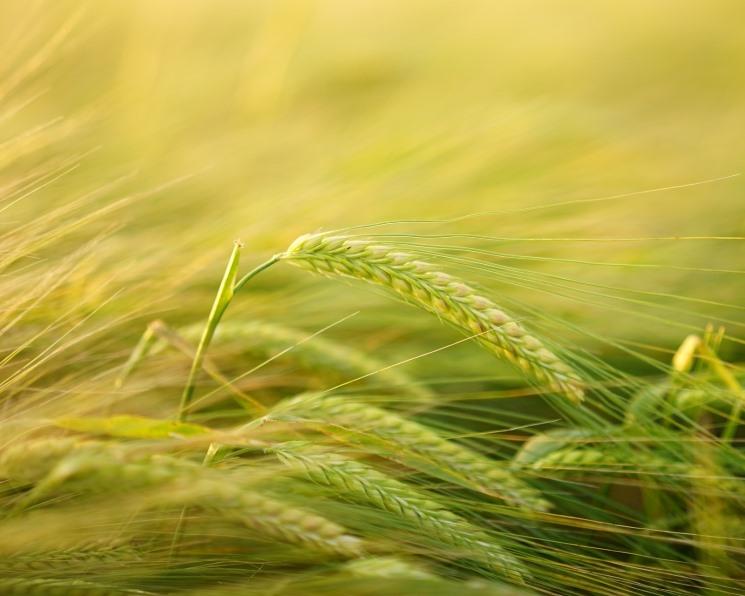 Производство ячменя вРоссии снизится на8%