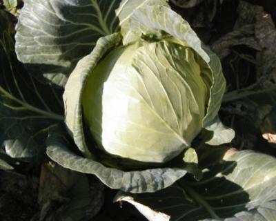 Рекордный сбор овощей