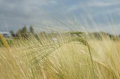 Экспорт ржи вдвое превысил объем прошлого сезона