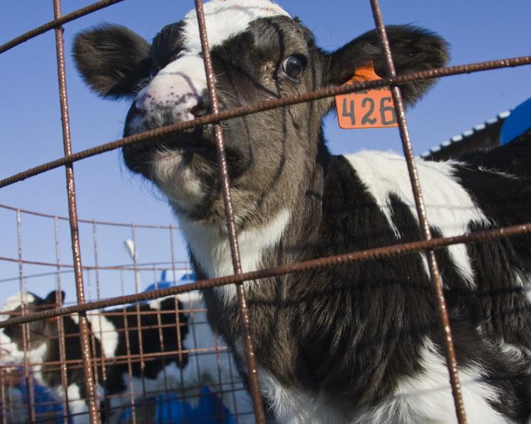 Краснодарский агрохолдинг первым в стране внедрил геномные племенные оценки КРС